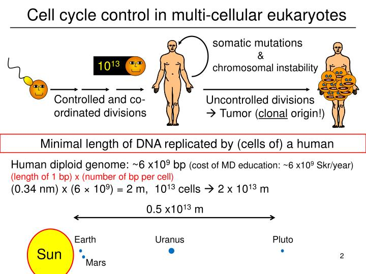 Cell cycle control in multi-cellular eukaryotes