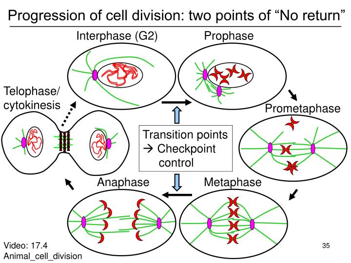 "Progression of cell division: two points of ""No return"""