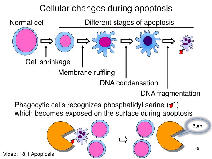 Cellular changes during apoptosis