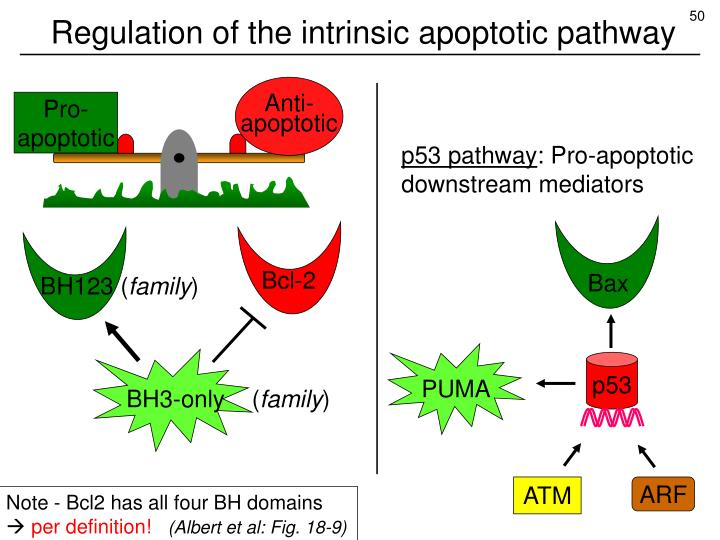Regulation of the intrinsic apoptotic pathway