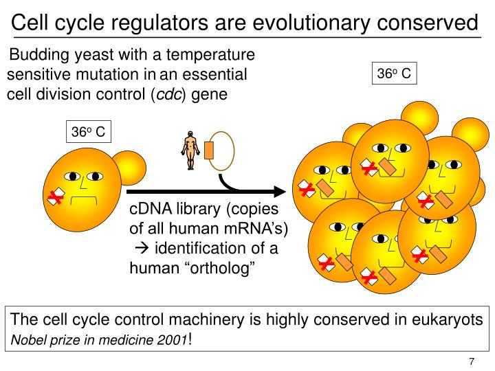Cell cycle regulators are evolutionary conserved