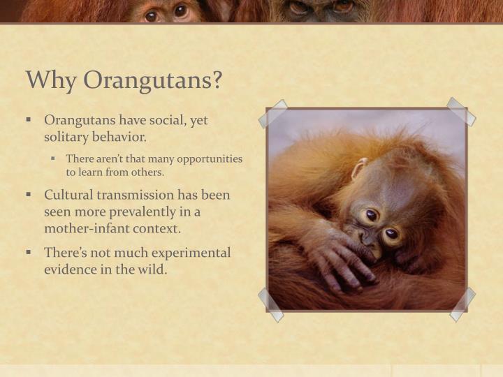 Why Orangutans?