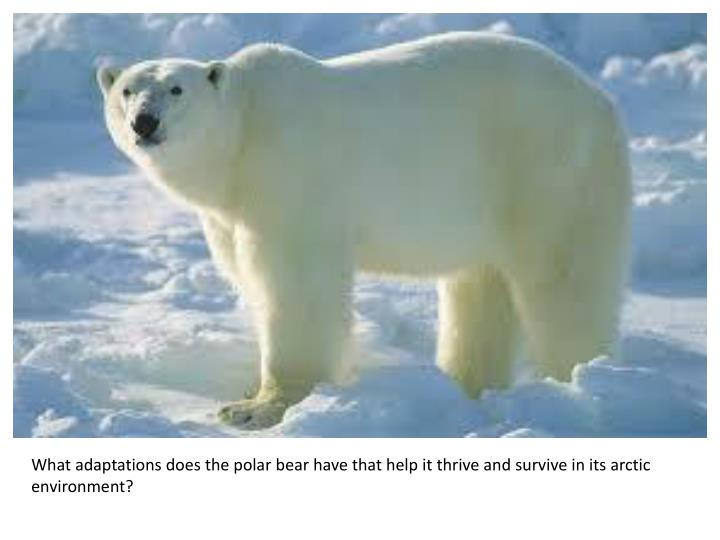 What adaptations does the polar bear have that help it thrive and survive in its arctic environment?