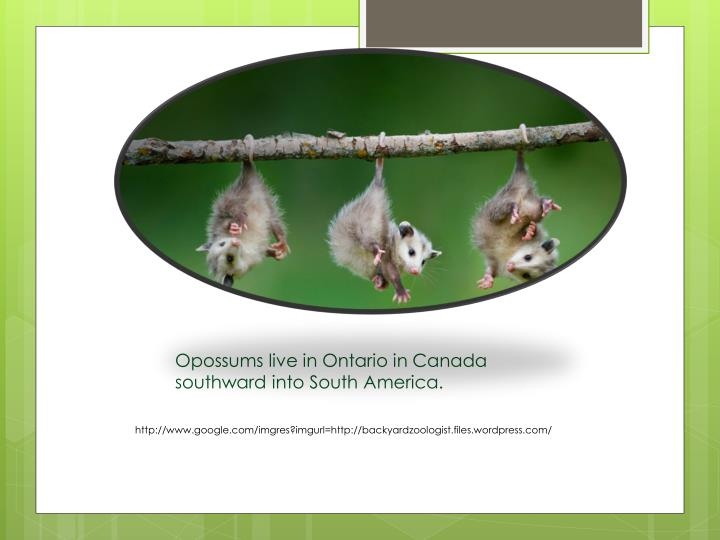 Opossums live in Ontario in Canada southward into South America.
