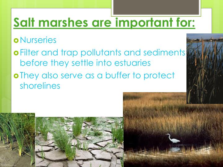 importance of salt marshes Salt marshes are important spawning grounds for many fish species these coastal habitats have a direct correlation to the amount of commercial fish harvested annually what has been done.