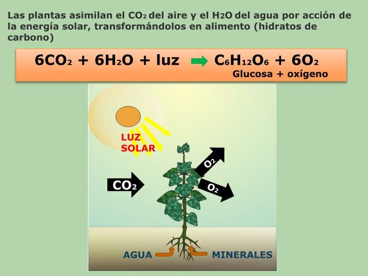 Las plantas asimilan el CO