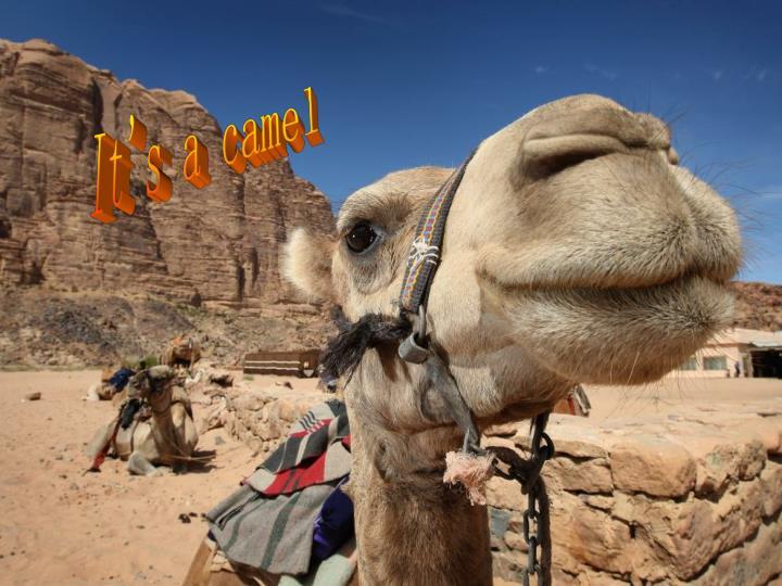 It's a camel