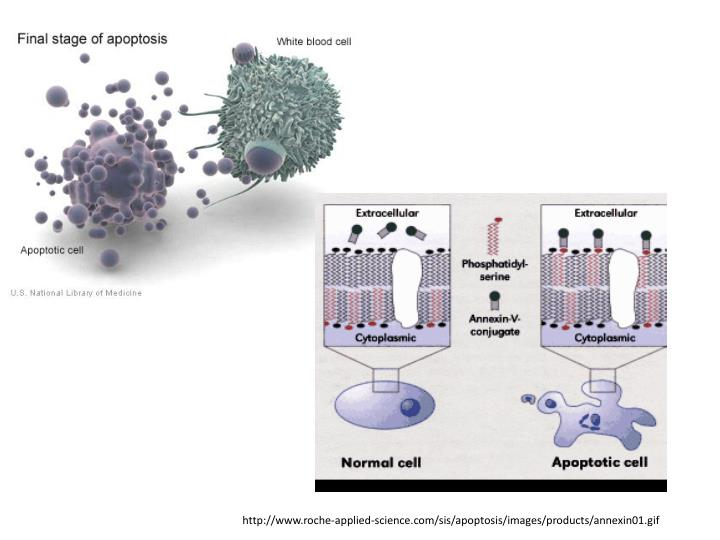 http://www.roche-applied-science.com/sis/apoptosis/images/products/annexin01.gif