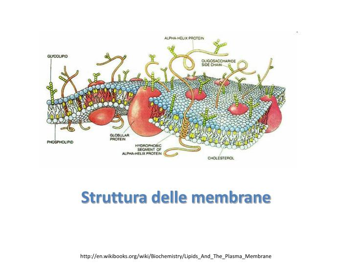 Struttura delle membrane