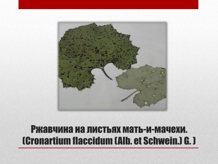 --. (Cronartium flaccidum (Alb. et Schwein.) G. )