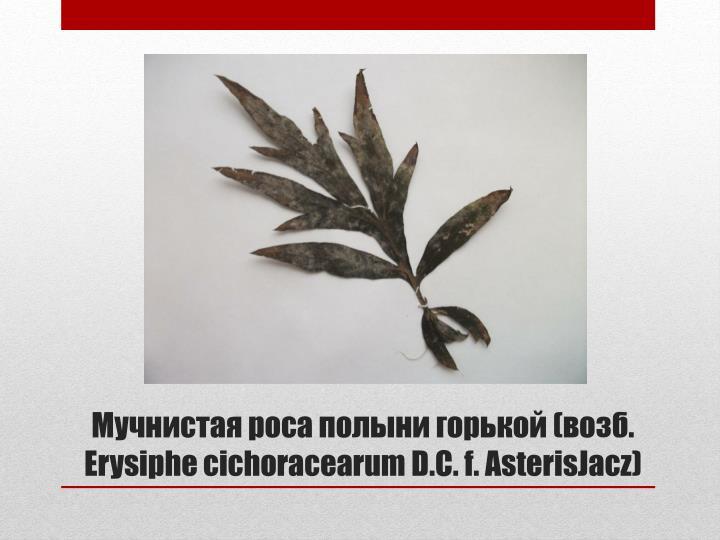 Мучнистая роса полыни горькой (возб.