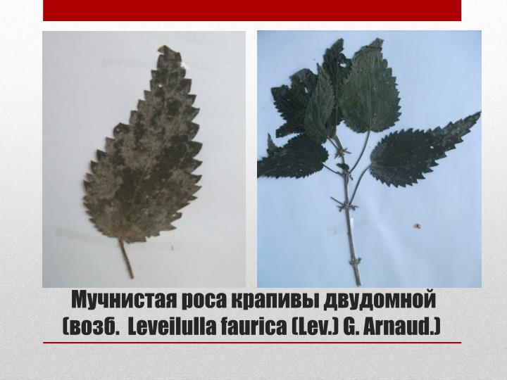 Мучнистая роса крапивы двудомной (возб.