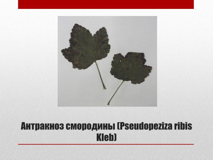 (Pseudopeziza ribis Kleb)