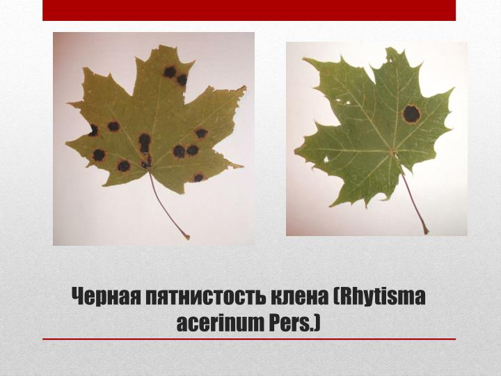 (Rhytisma acerinum Pers.)