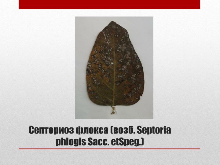 Септориоз флокса (возб.