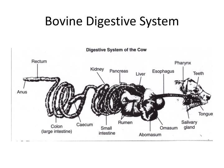 Bovine Digestive System