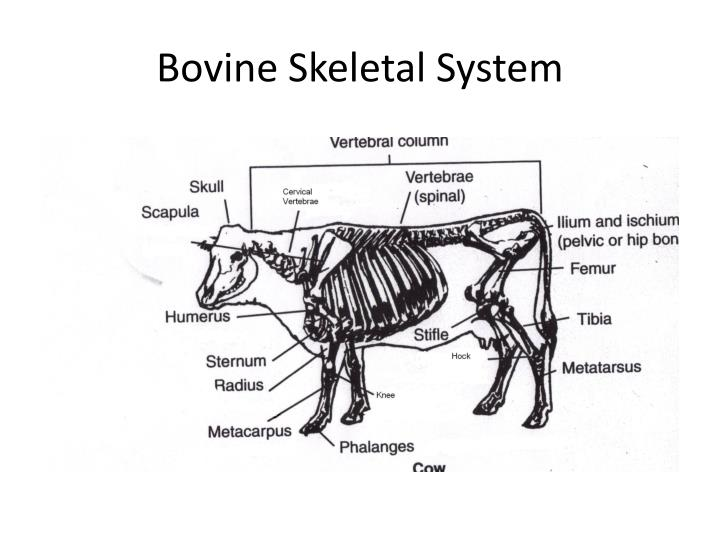 Bovine Skeletal System