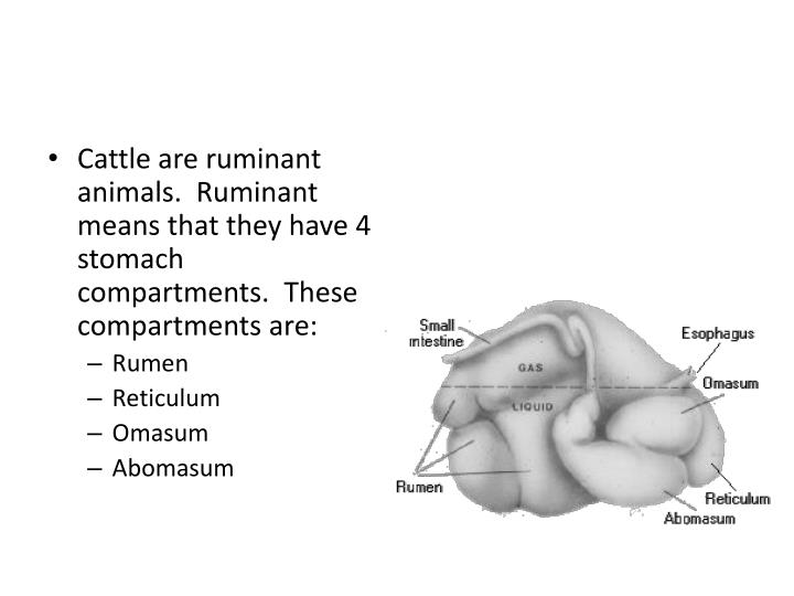 Cattle are ruminant animals.  Ruminant means that they have 4 stomach compartments.  These compartments are: