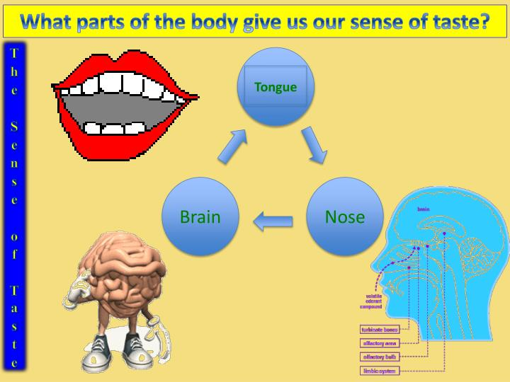 What parts of the body give us our sense of taste?