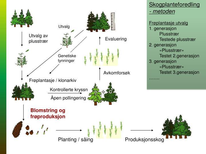 Skogplanteforedling