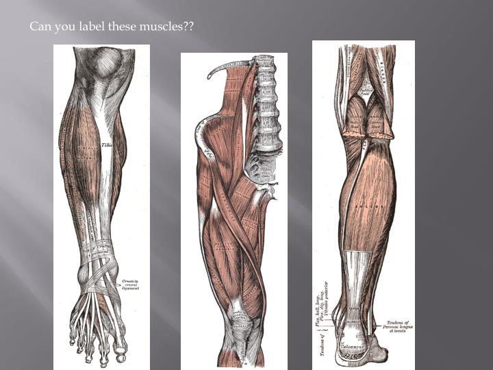 Can you label these muscles??
