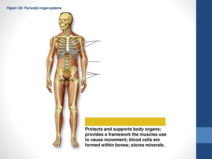 Figure 1 2b the body s organ systems