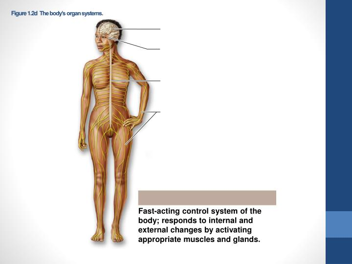 Figure 1.2dThe body's organ systems.