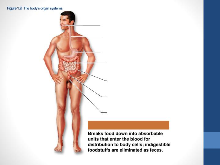 Figure 1.2iThe body's organ systems.