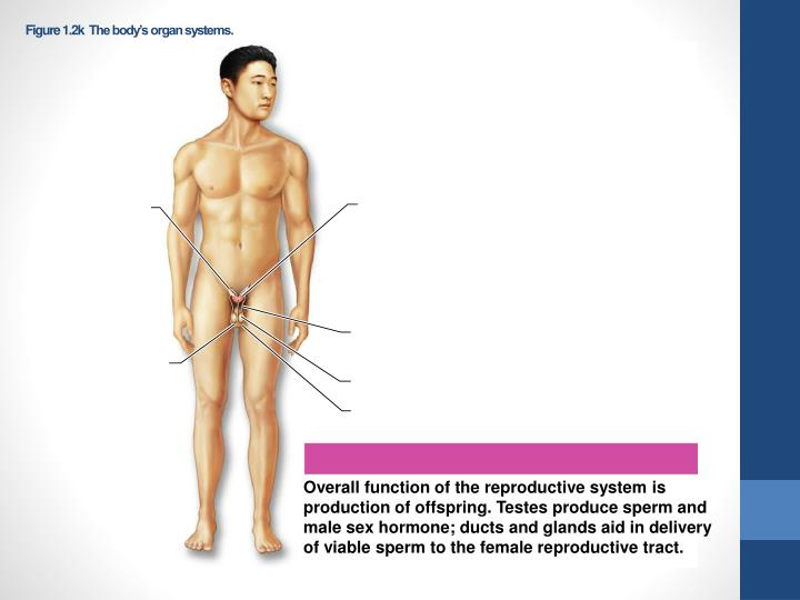 Figure 1.2k  The body's organ systems.