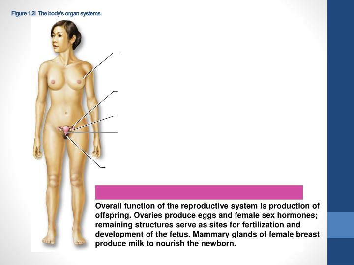 Figure 1.2l  The body's organ systems.