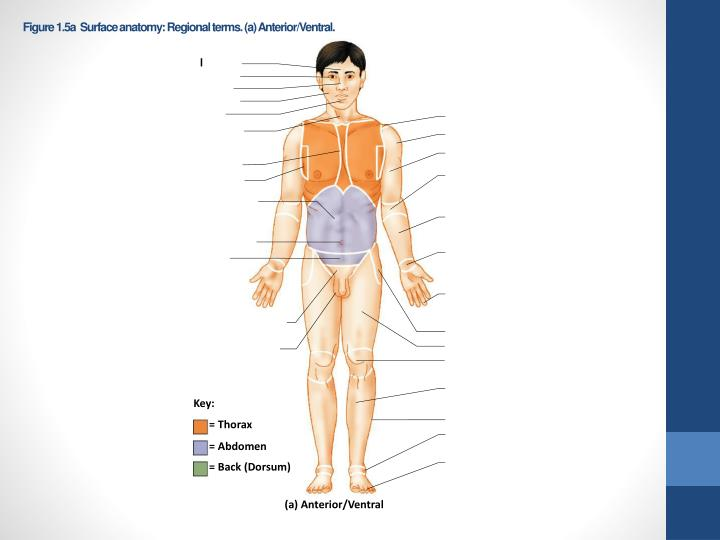 Figure 1.5a  Surface anatomy: Regional terms. (a) Anterior/Ventral.