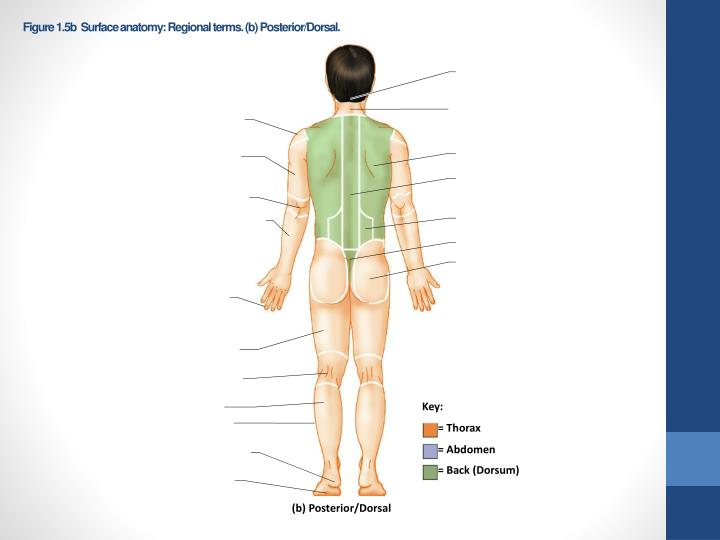 Figure 1.5b  Surface anatomy: Regional terms. (b) Posterior/Dorsal.