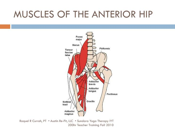 MUSCLES OF THE ANTERIOR HIP