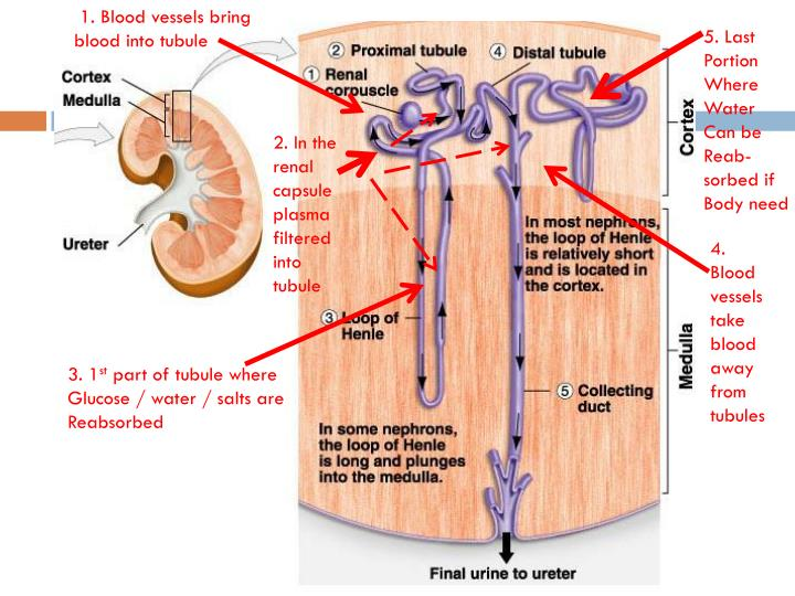 1. Blood vessels bring blood into tubule