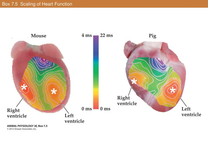 Box 7.5  Scaling of Heart Function
