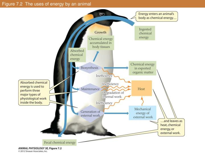 Figure 7.2  The uses of energy by an animal