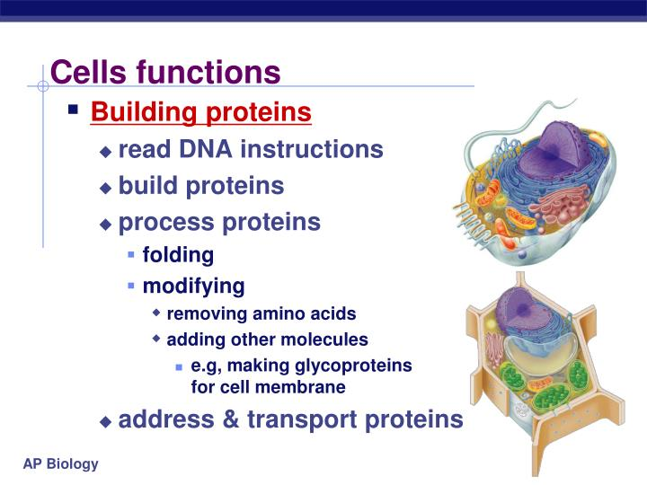 Cells functions