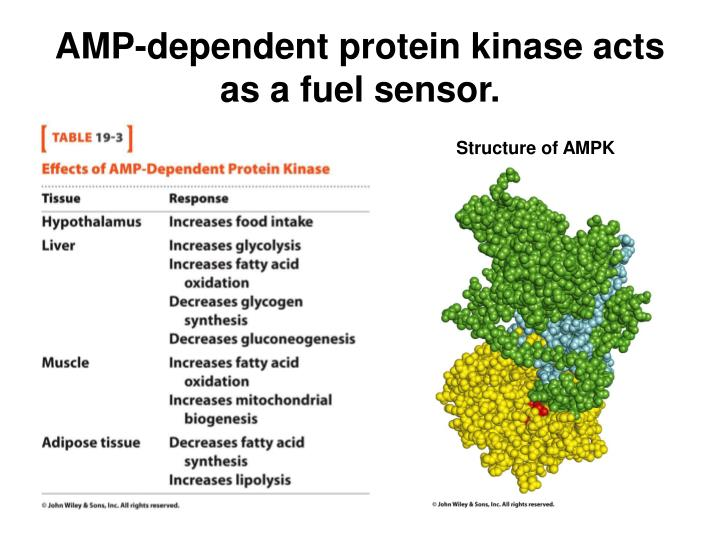 AMP-dependent protein kinase acts as a fuel sensor.