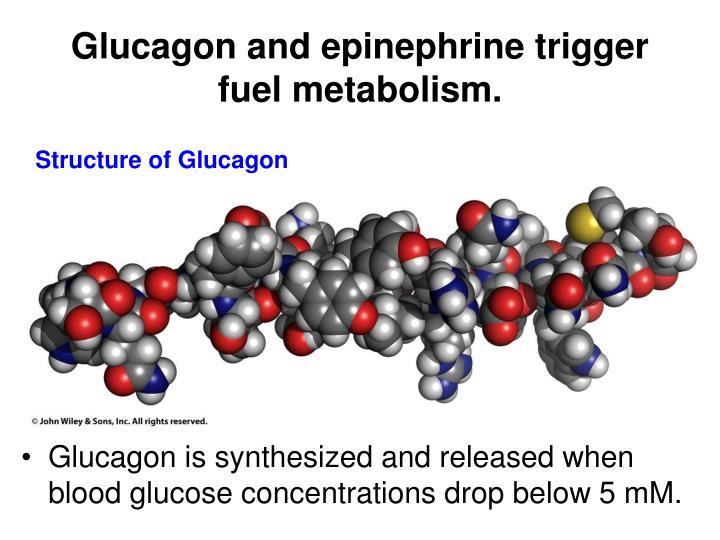 Glucagon and epinephrine trigger fuel metabolism.