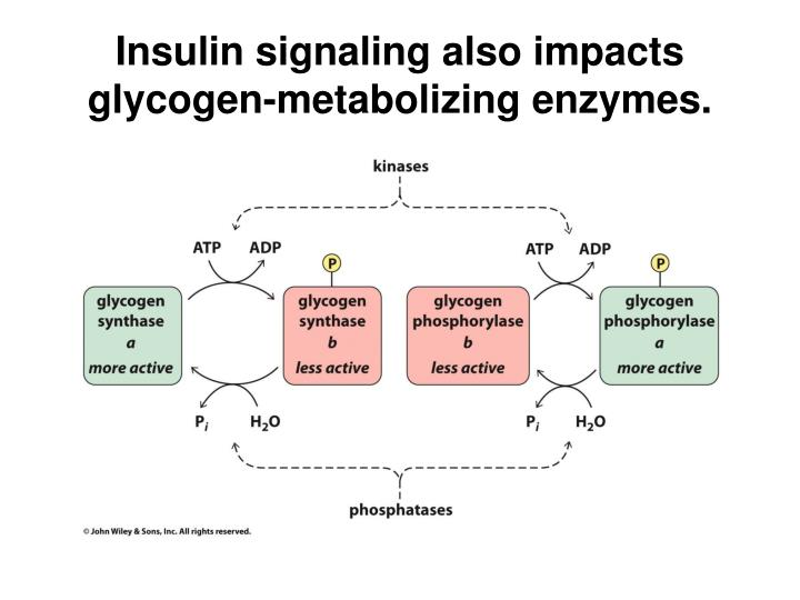 Insulin signaling also impacts glycogen-metabolizing enzymes.