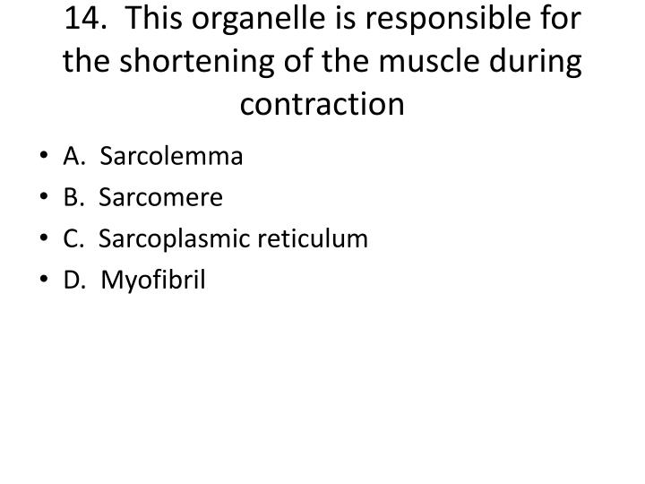 14.  This organelle is responsible for the shortening of the muscle during contraction