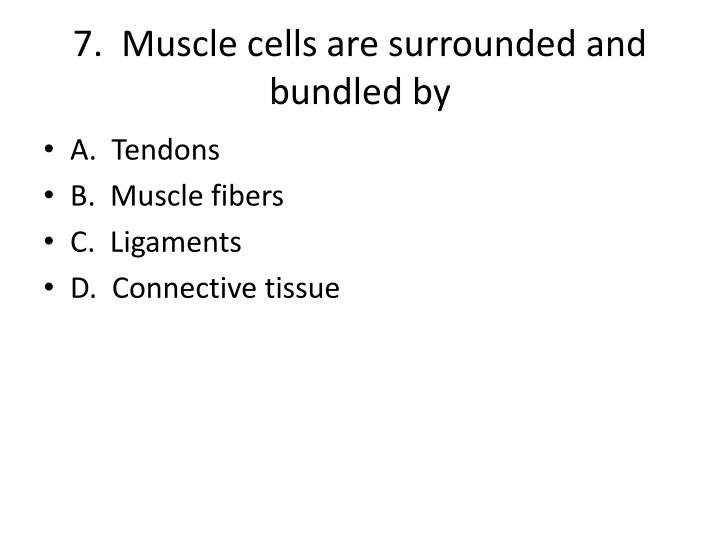 7.  Muscle cells are surrounded and bundled by