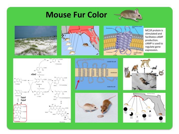 Mouse Fur Color