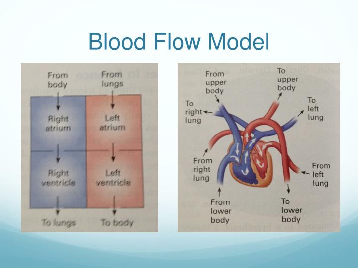 Blood Flow Model