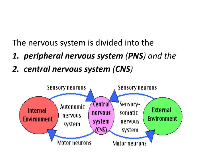 The nervous system is divided into the