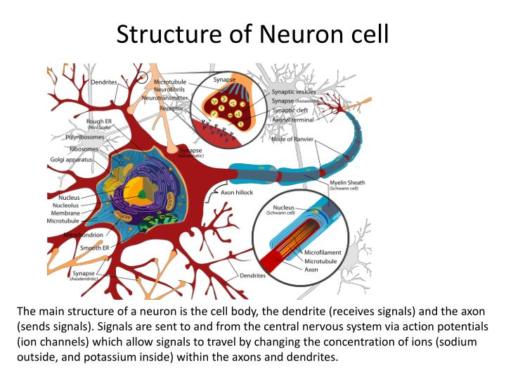 Structure of Neuron cell