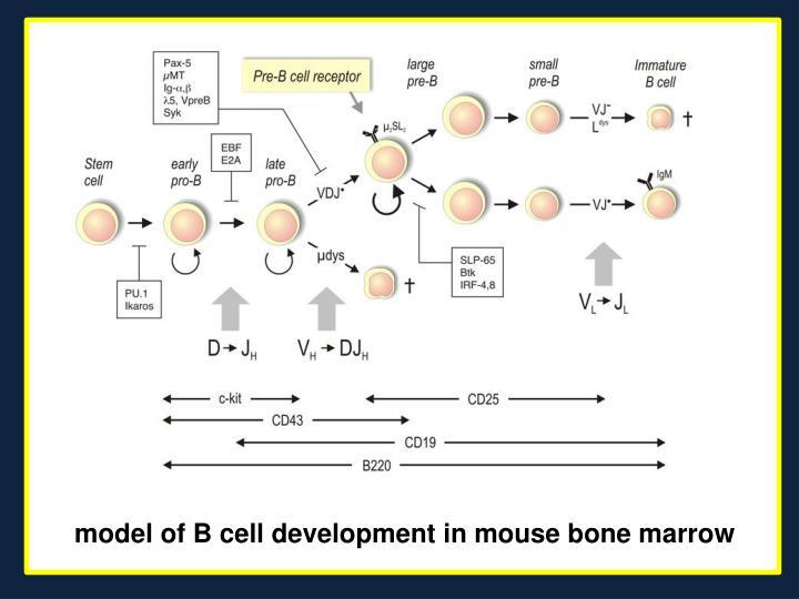 model of B cell development in mouse bone marrow