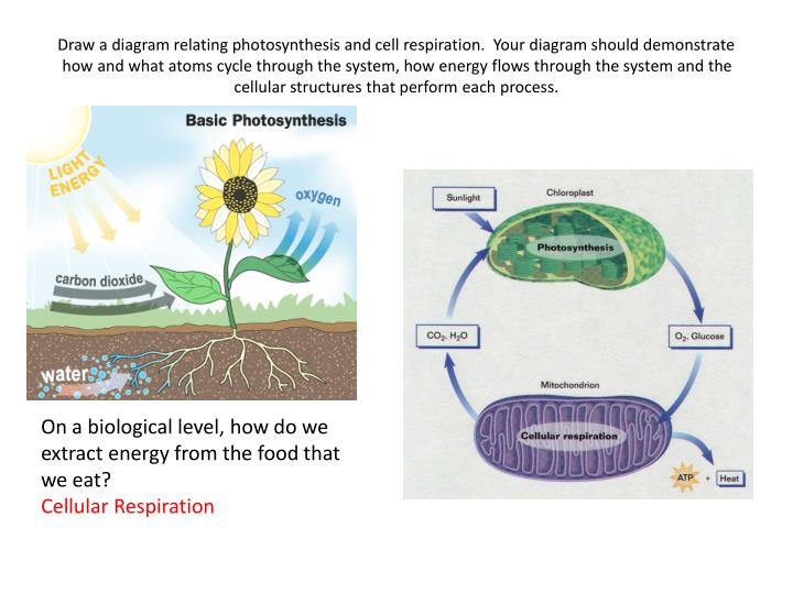 Draw a diagram relating photosynthesis and cell respiration.  Your diagram should demonstrate how and what atoms cycle through the system, how energy flows through the system and the cellular structures that perform each process.