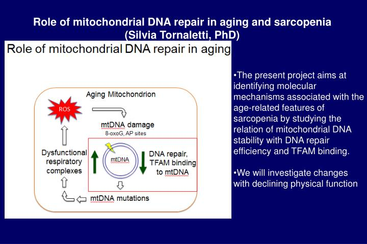 Role of mitochondrial DNA repair in aging and