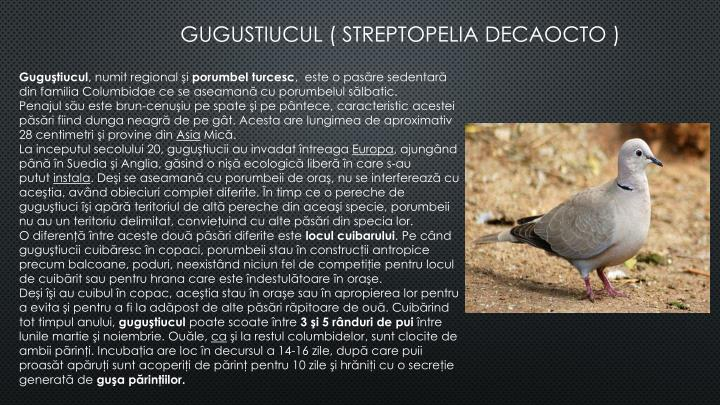 GUGUSTIUCUL ( STREPTOPELIA DECAOCTO )
